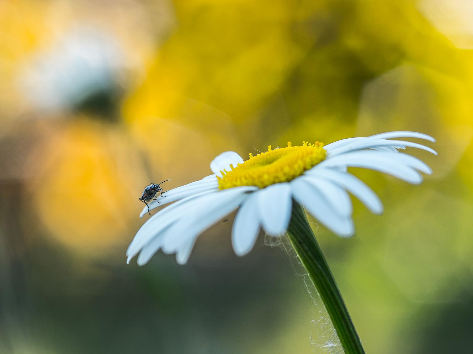 Margerite mit unbekanntem Käfer, vor unscharf gelbem Hintergrund