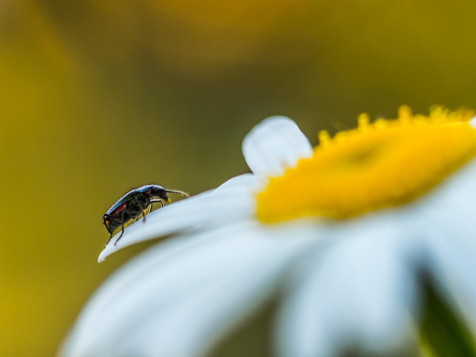 Margerite mit unbekanntem Käfer