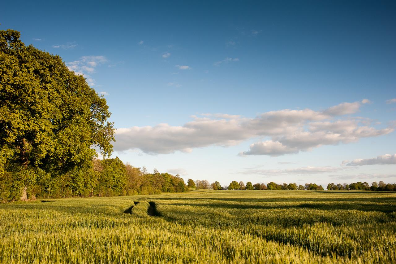 Getreidefeld, Eiche und blauer Wolkenhimmel, Mitte Mai