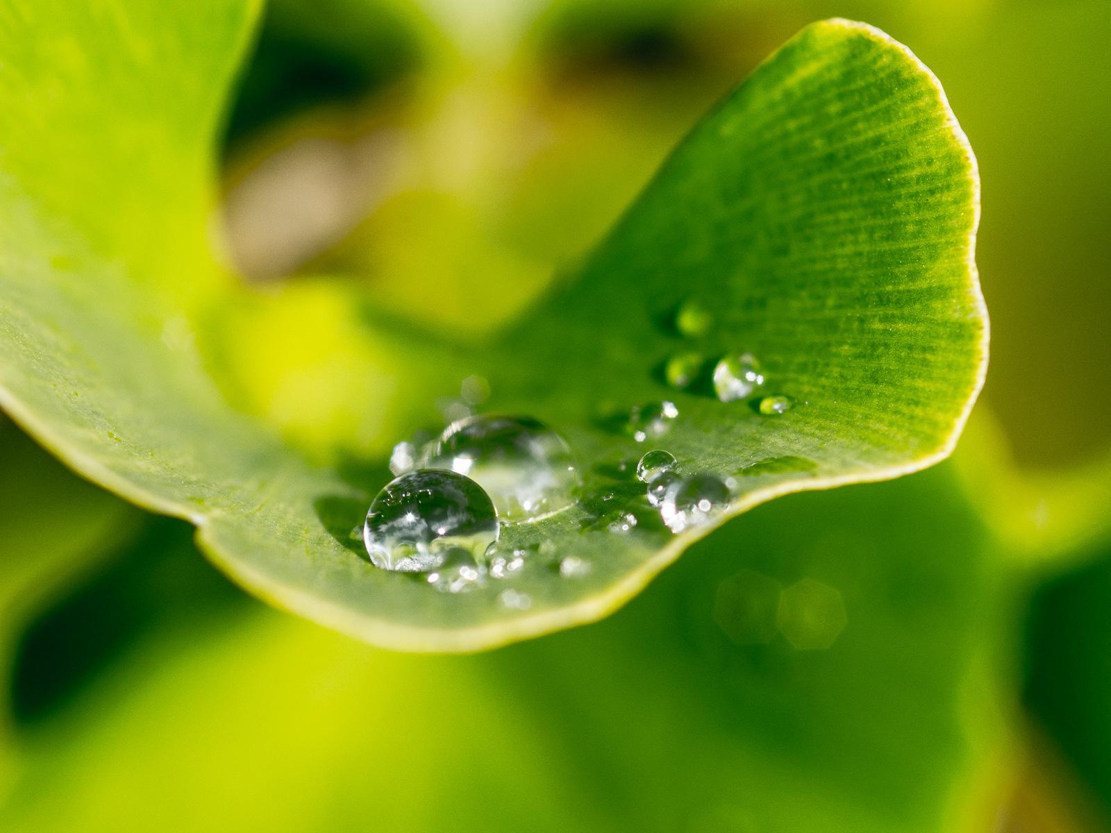 Regentropfen auf Ginkgoblatt