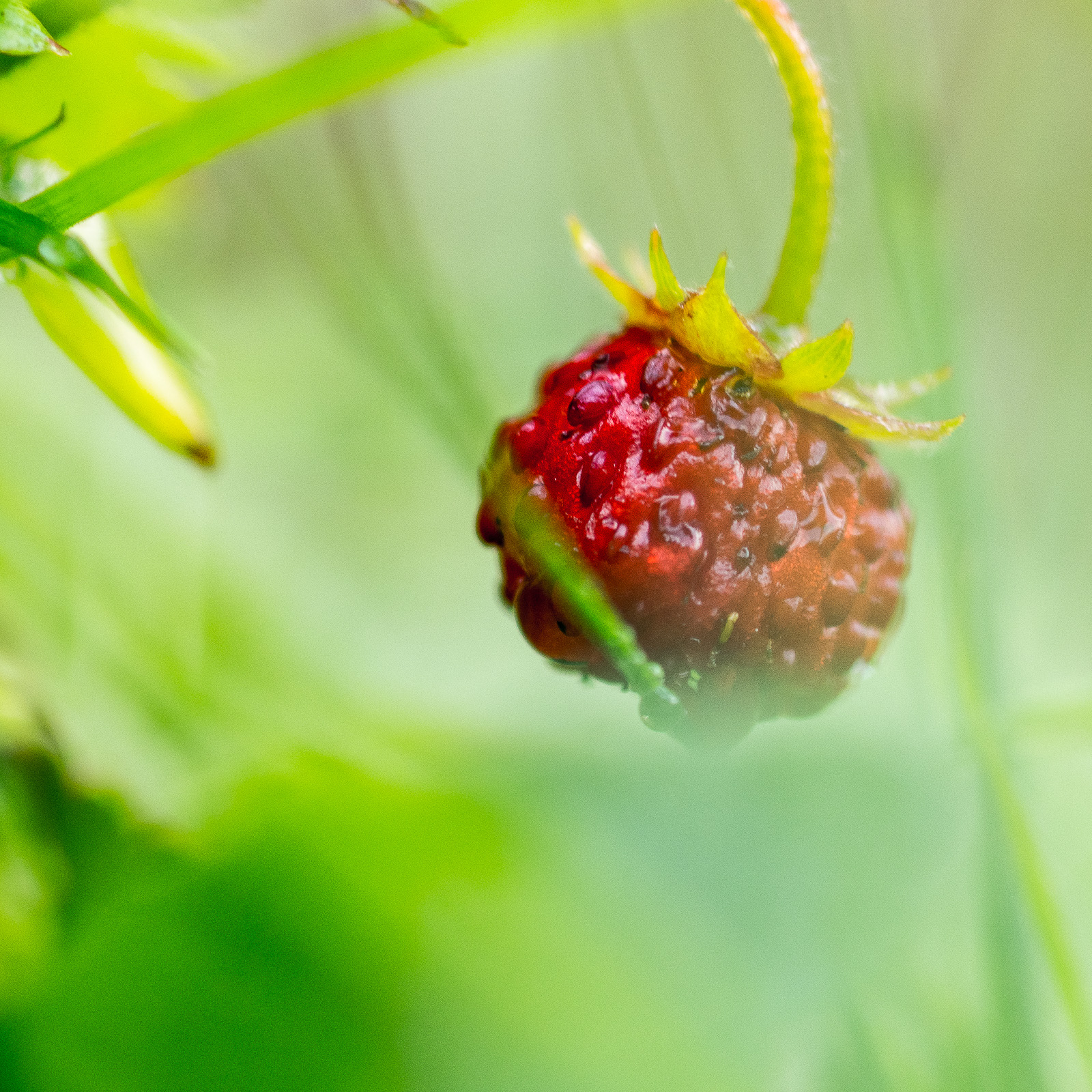 Wald-Erdbeere in Nahaufnahme