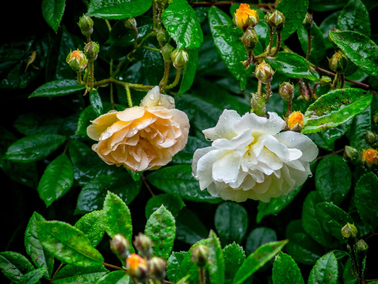 eine zart apricotfarbene und eine cremeweiße Blüte der Kletterrose Ghislaine de Féligonde