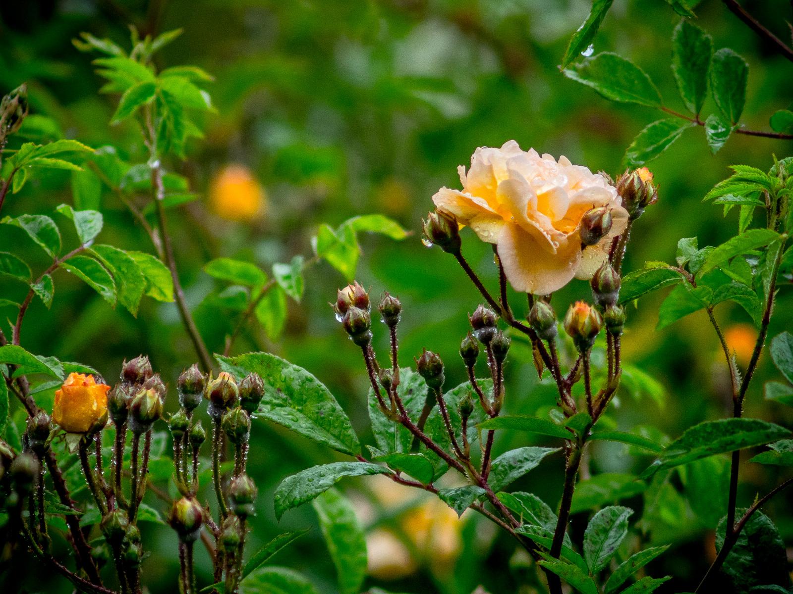einzelne apricotfarbene Blüte der Kletterrose Ghislaine, umrahmt von ca. zwei Dutzend Knospen