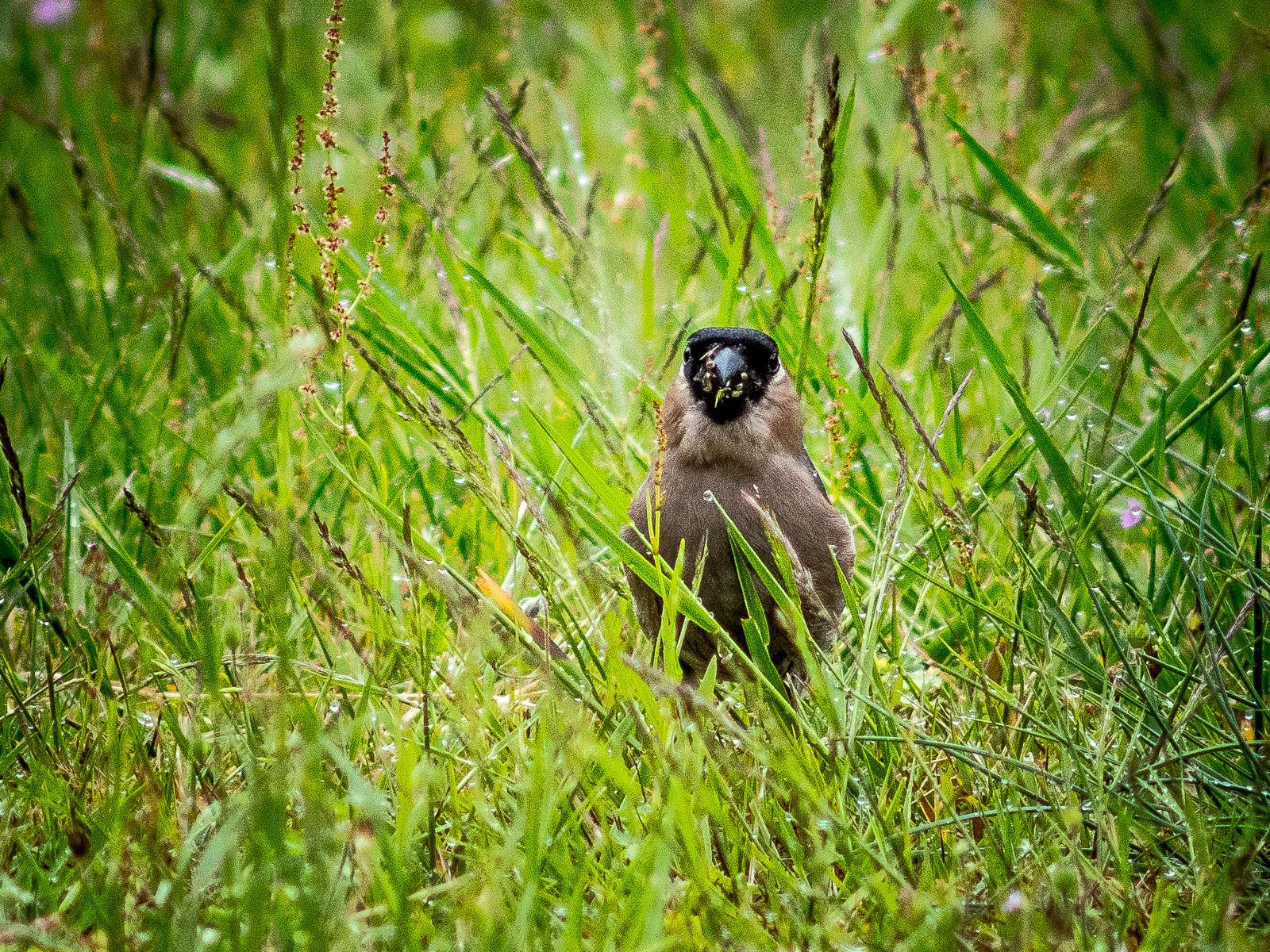 Gimpelweibchen mit vollem Schnabel, frontal im hohen Gras