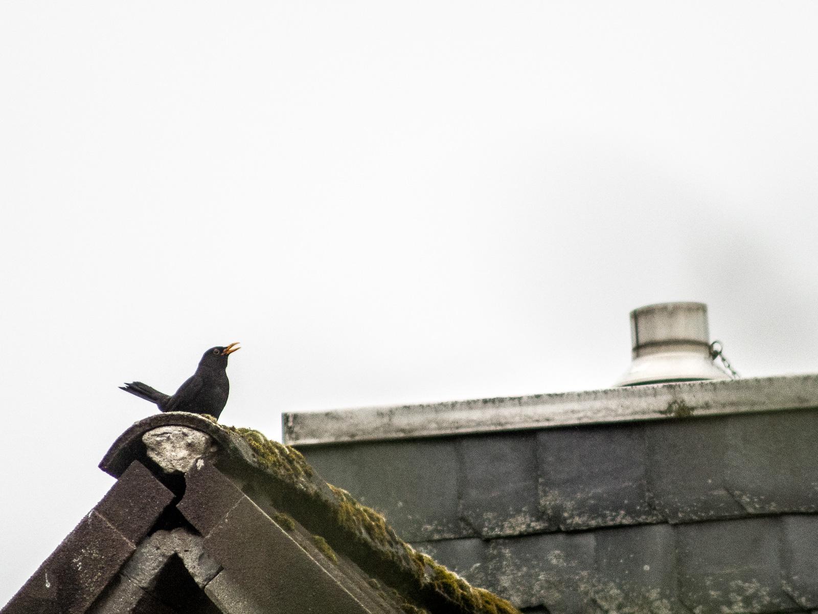 Amselmann auf Dach, singend.