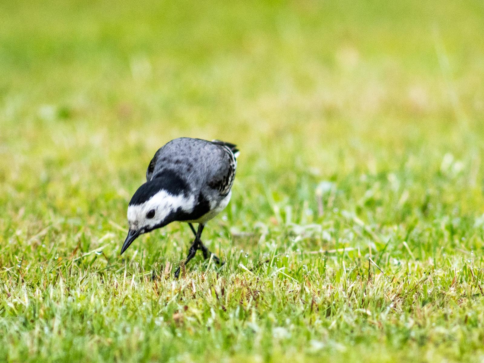 Bachstelze, Frontansicht auf Rasen, mit überkreuzten Beinen