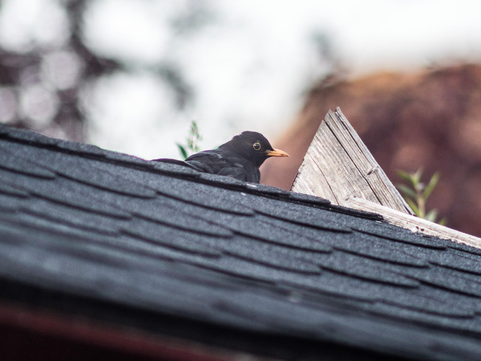 Amsel auf Schindeldach