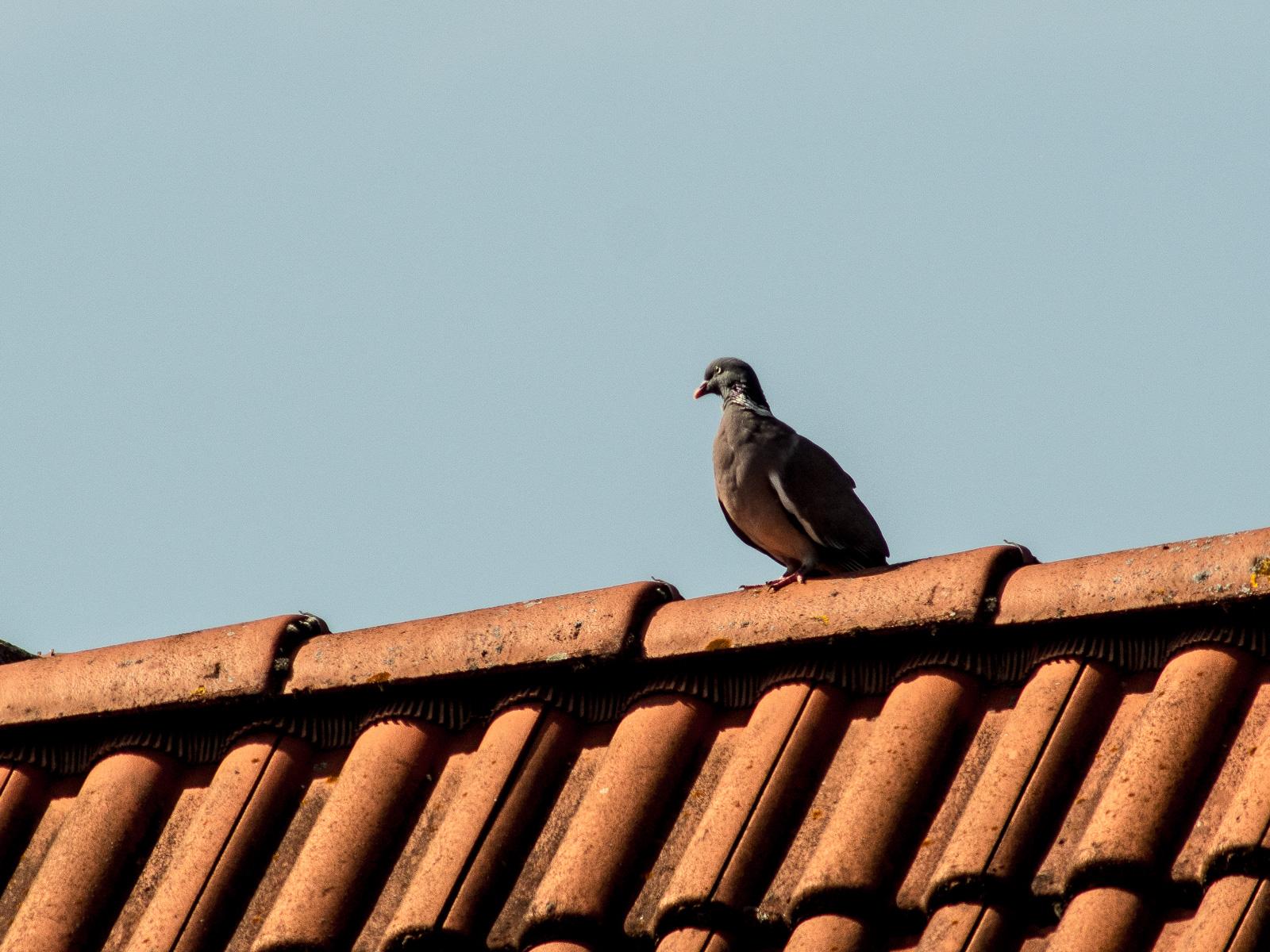 Taube auf roten Dachziegeln
