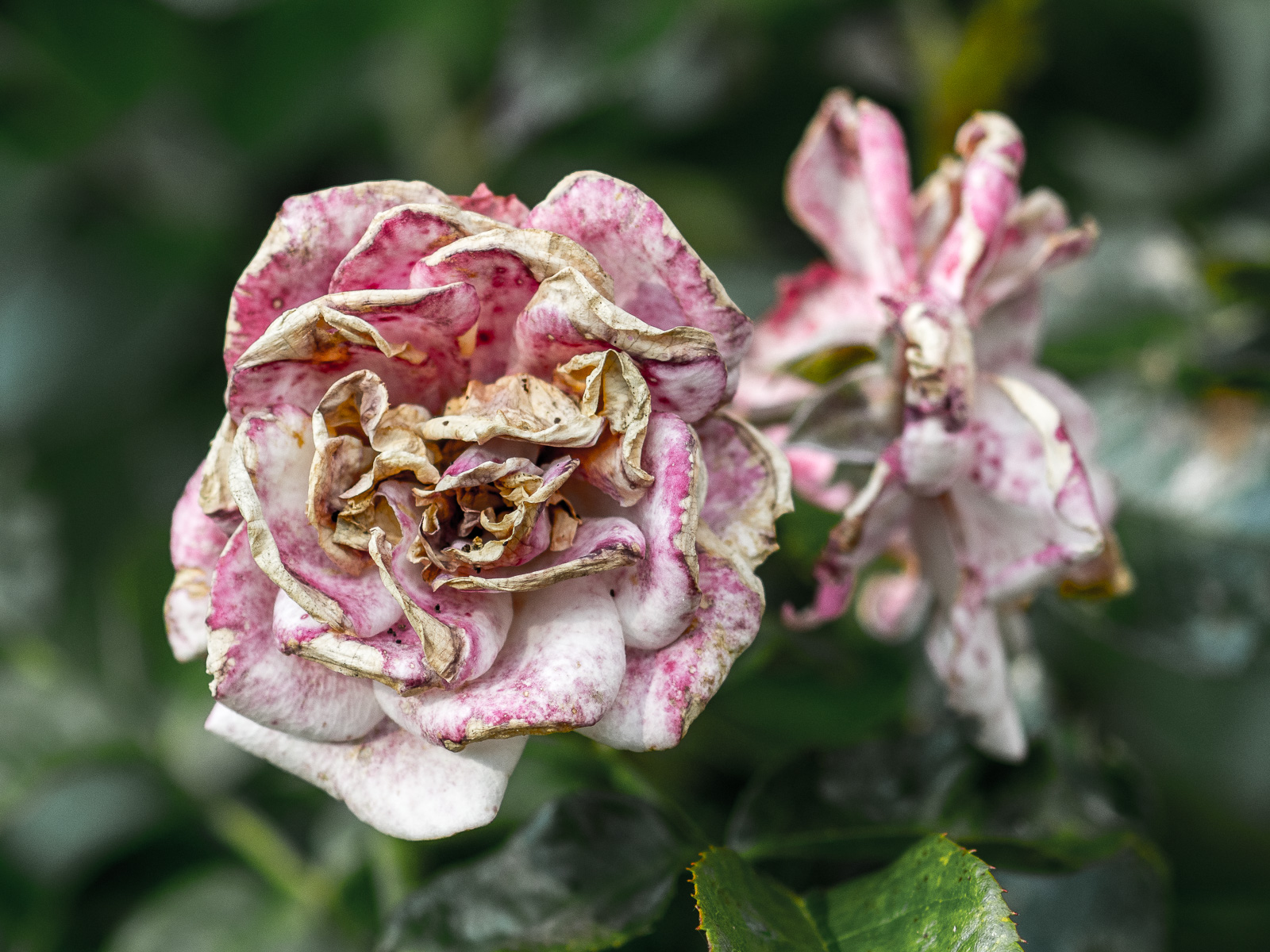 Rose, verblühend