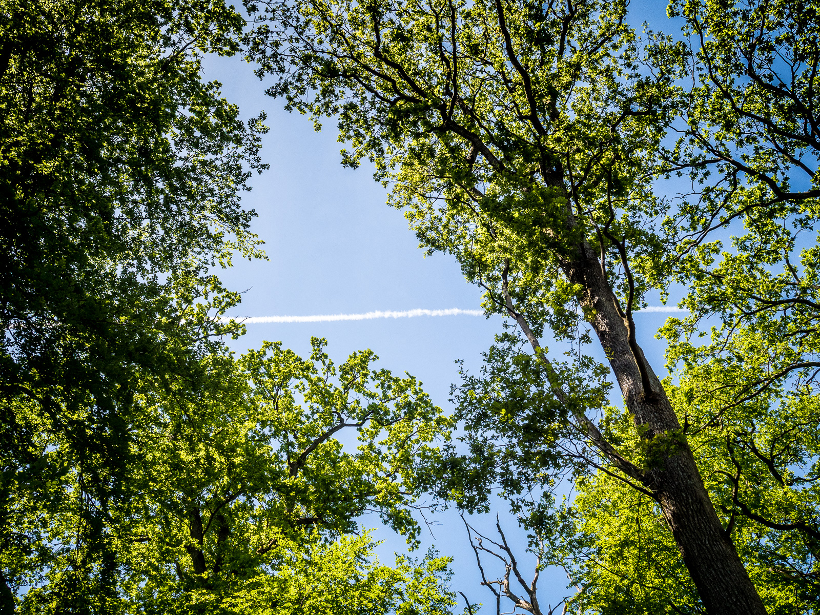 Bäume mit Kondensstreifen