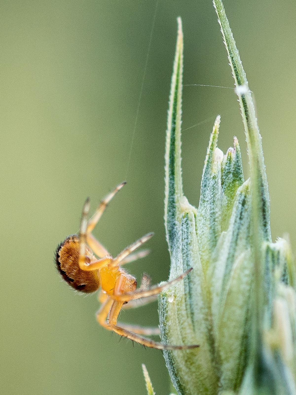 Spinne beim Abseilen an einer Ähre
