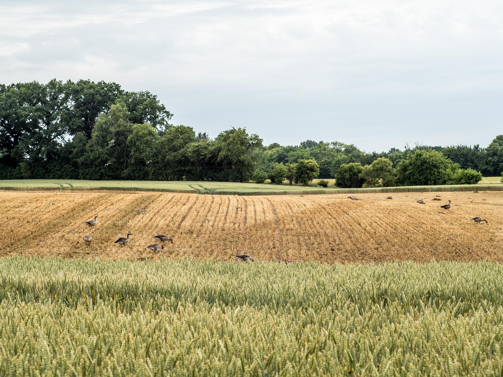 Gänse auf abgeerntetem Getreidefeld