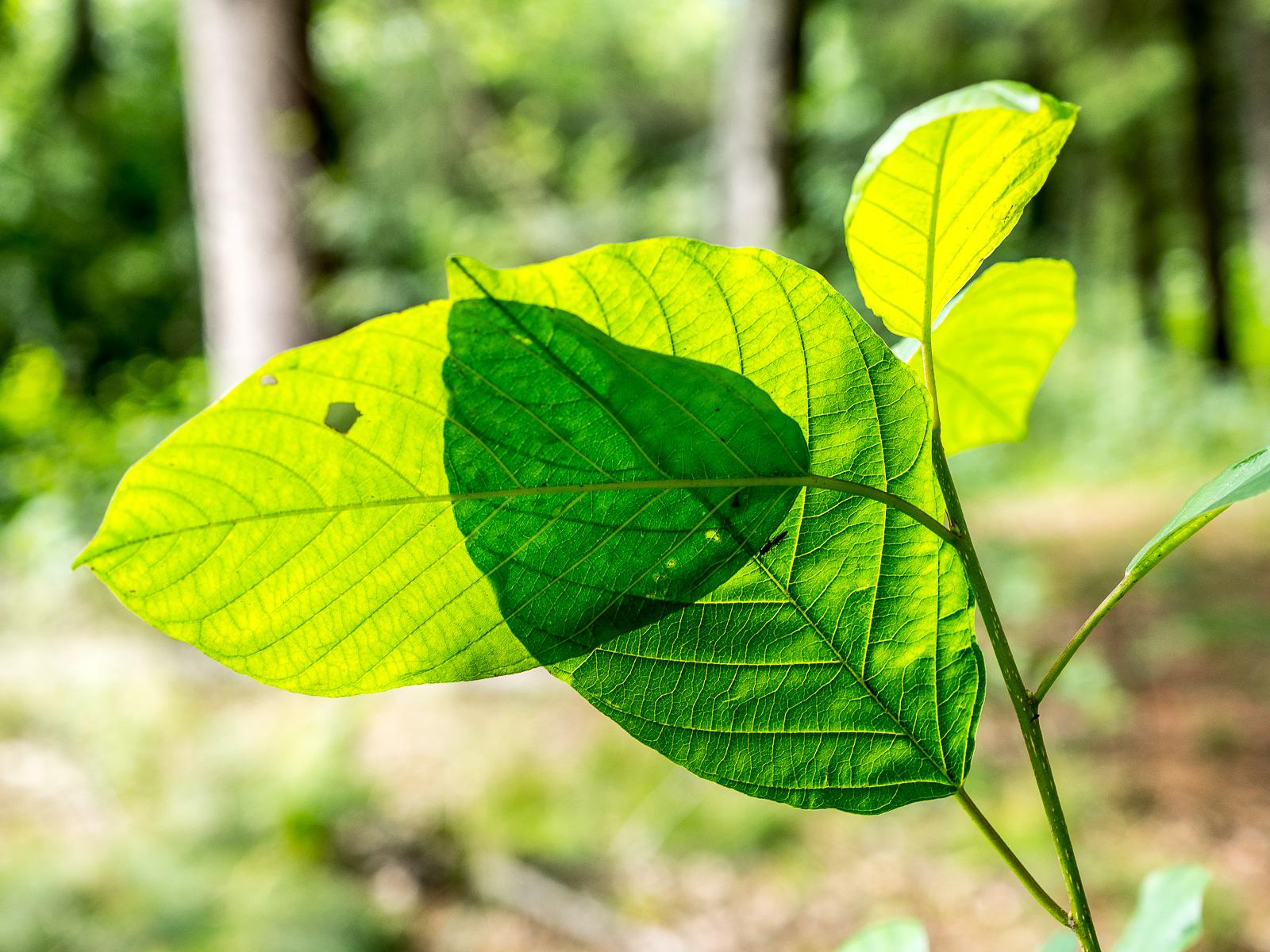 Überlappende Blätter im Gegenlicht, an der überlagerungskante zeichnet sich der Schatten eines länglichen Käfers ab