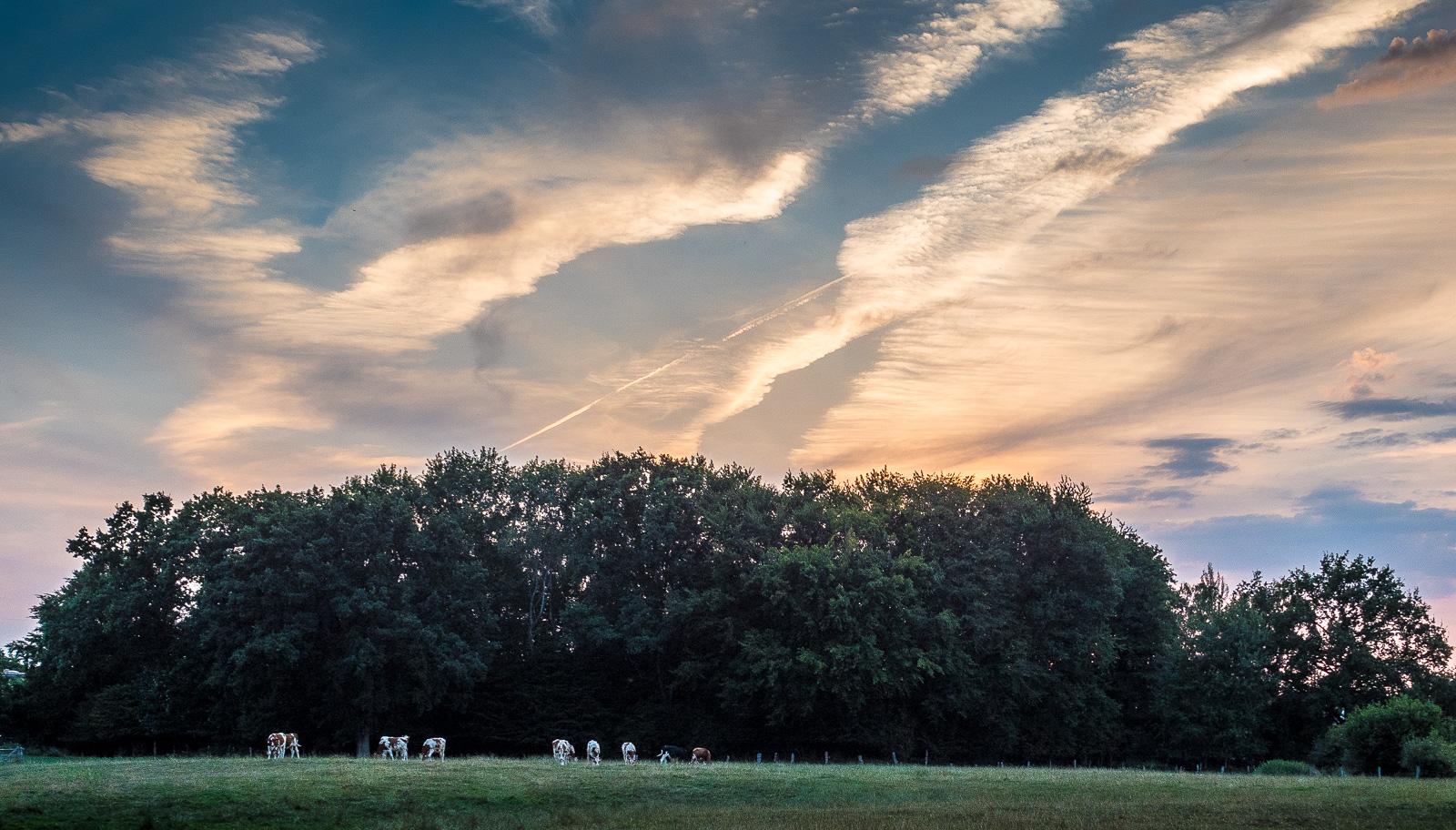 spektakulär beleuchtete Wolken am Abendhimmel, davor ein Wäldchen, davor acht Kühe auf der Wiese
