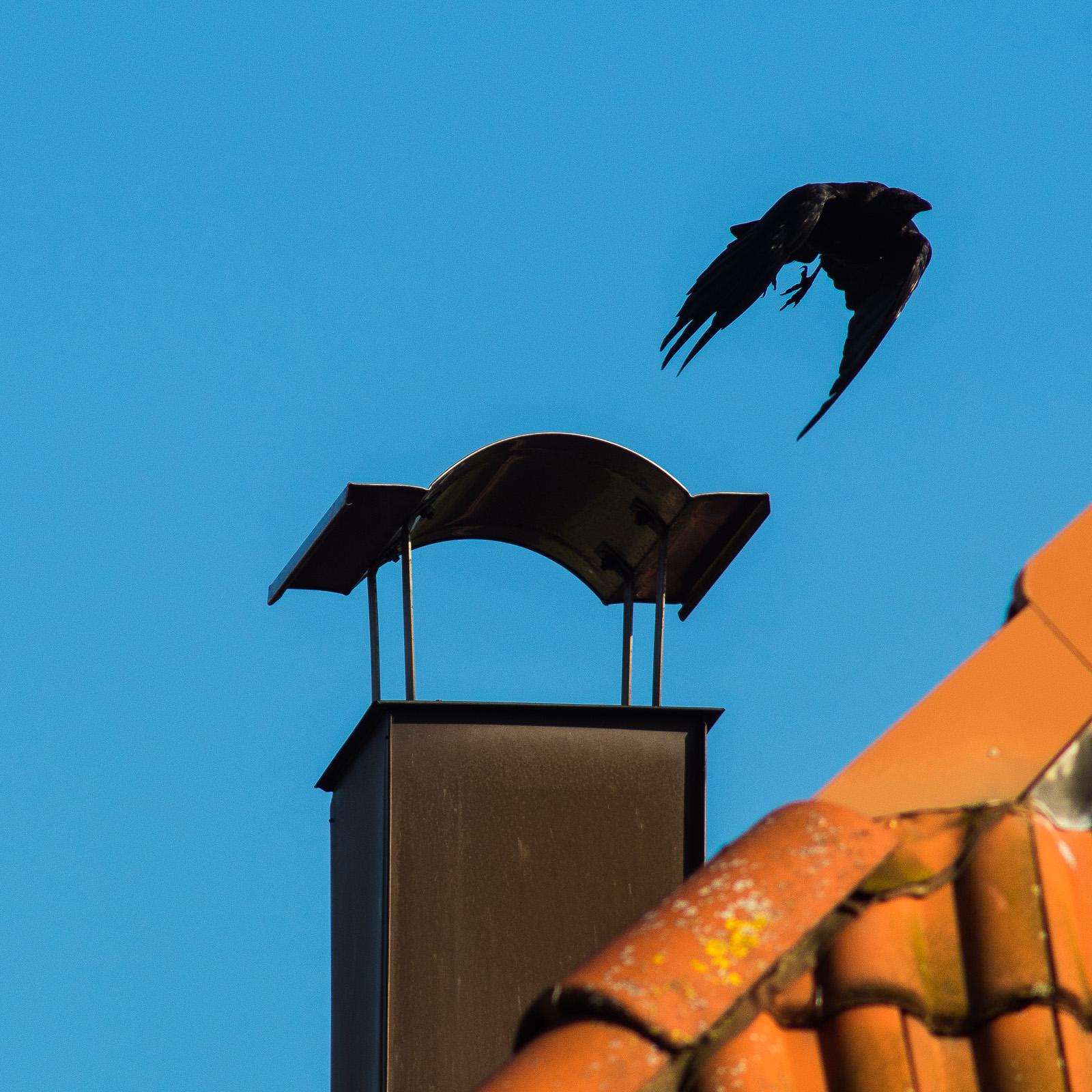 Rabenvogel beim Abflug von Nachbars Schornstein
