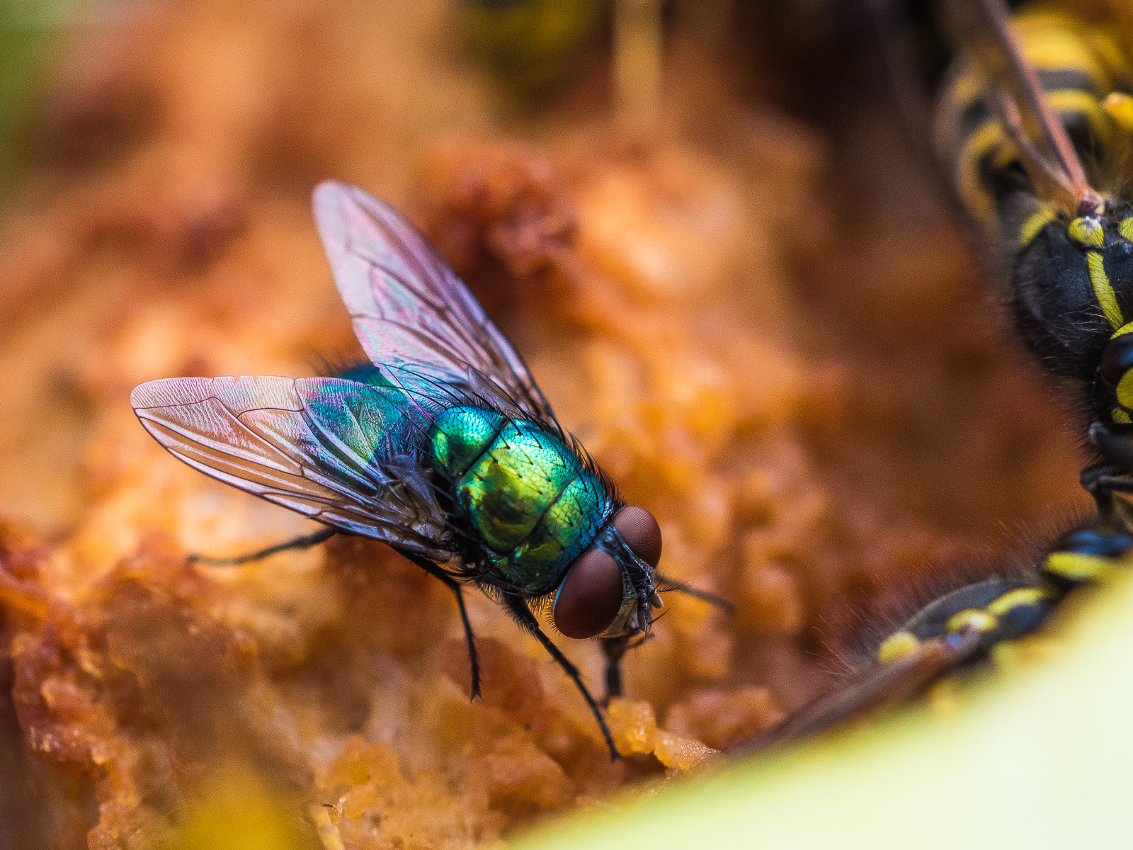 Grün schillernde Fliege auf verrottendem Apfel, am Bildrand sind mehrere Wespen zu erahnen