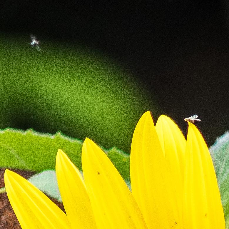 Enger Ausschnitt des oberen Bildes zeigt zwei Fliegen, eine sitzend, eine fliegend