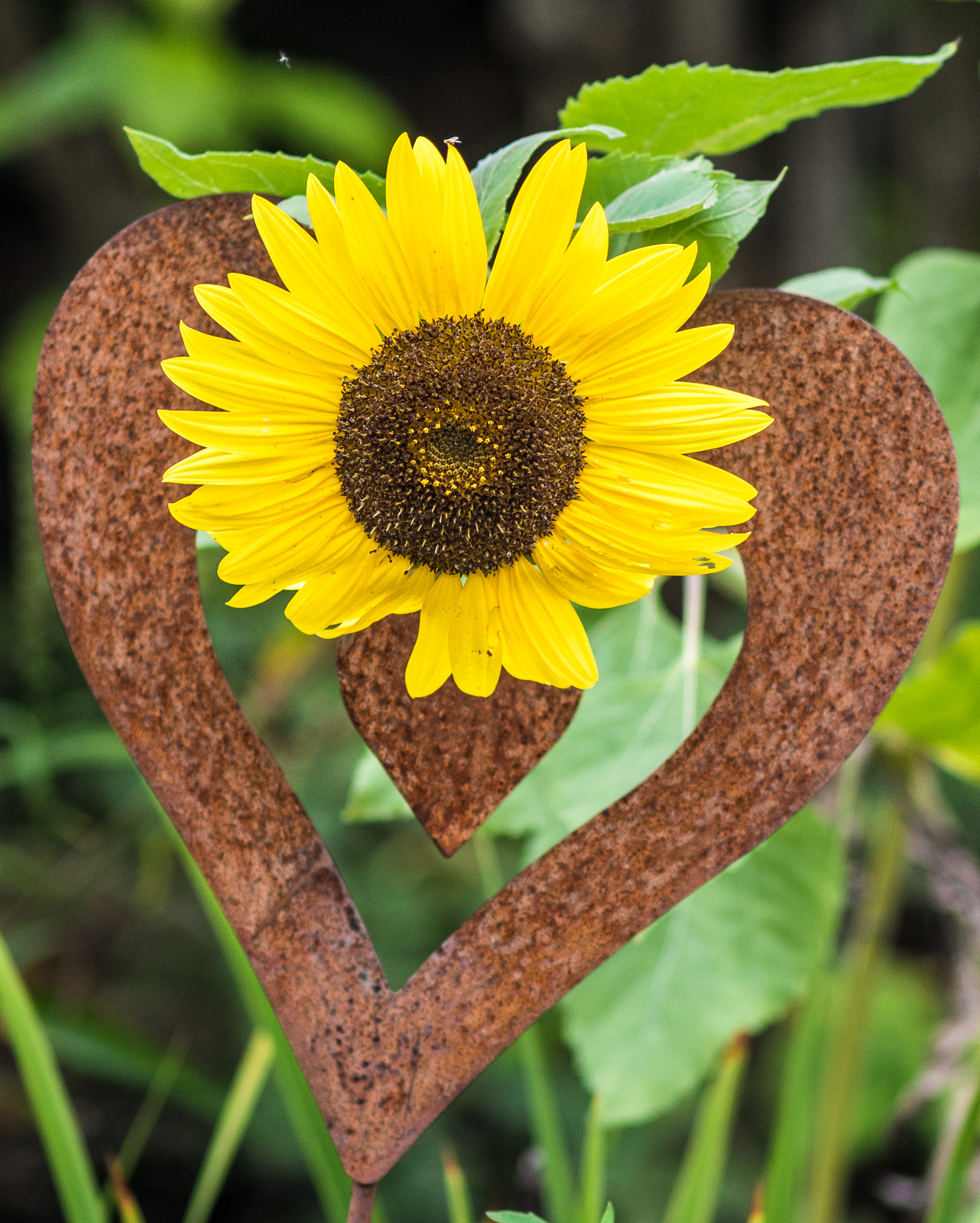 Sonnenblume auf metallenem Deko-Herz