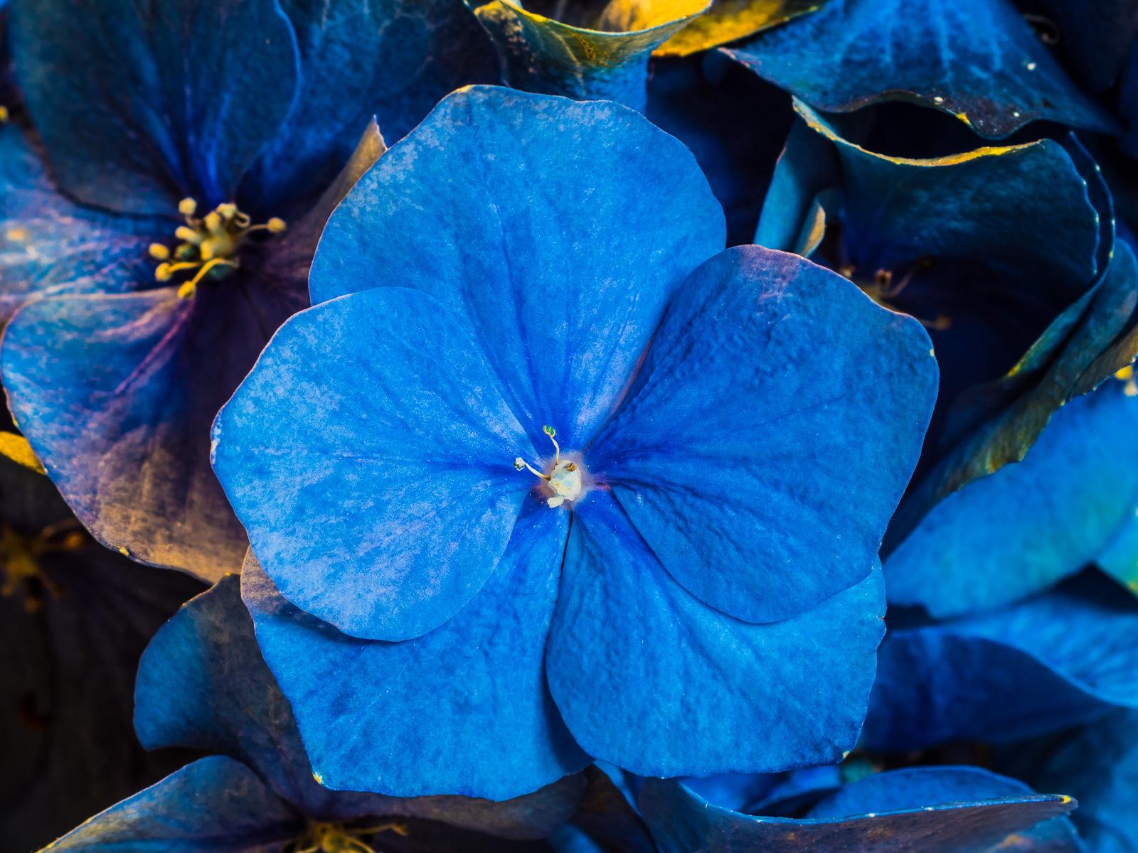 Blaue Hortensienblüte unter Kunstlicht
