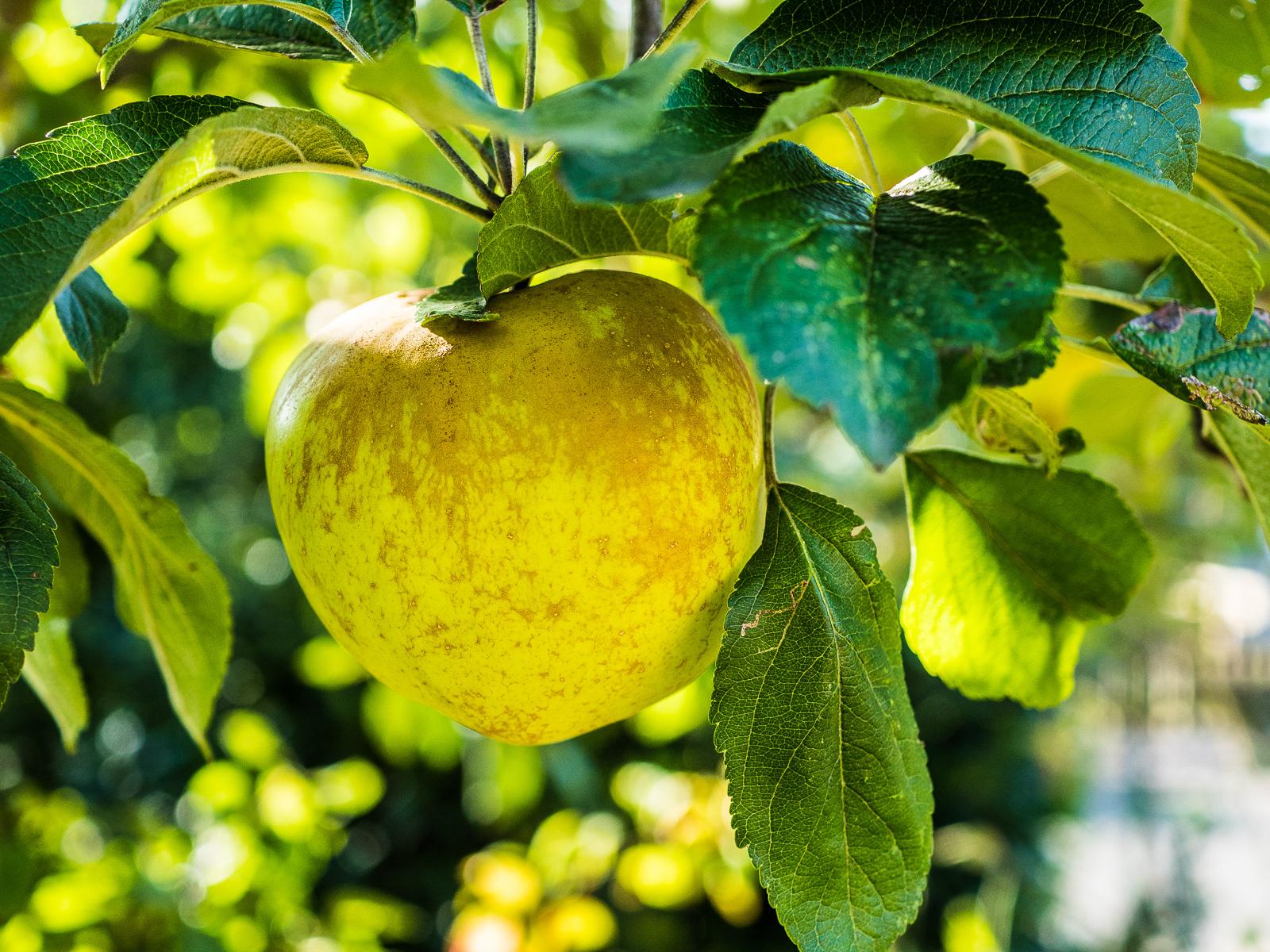 Apfel im Baum