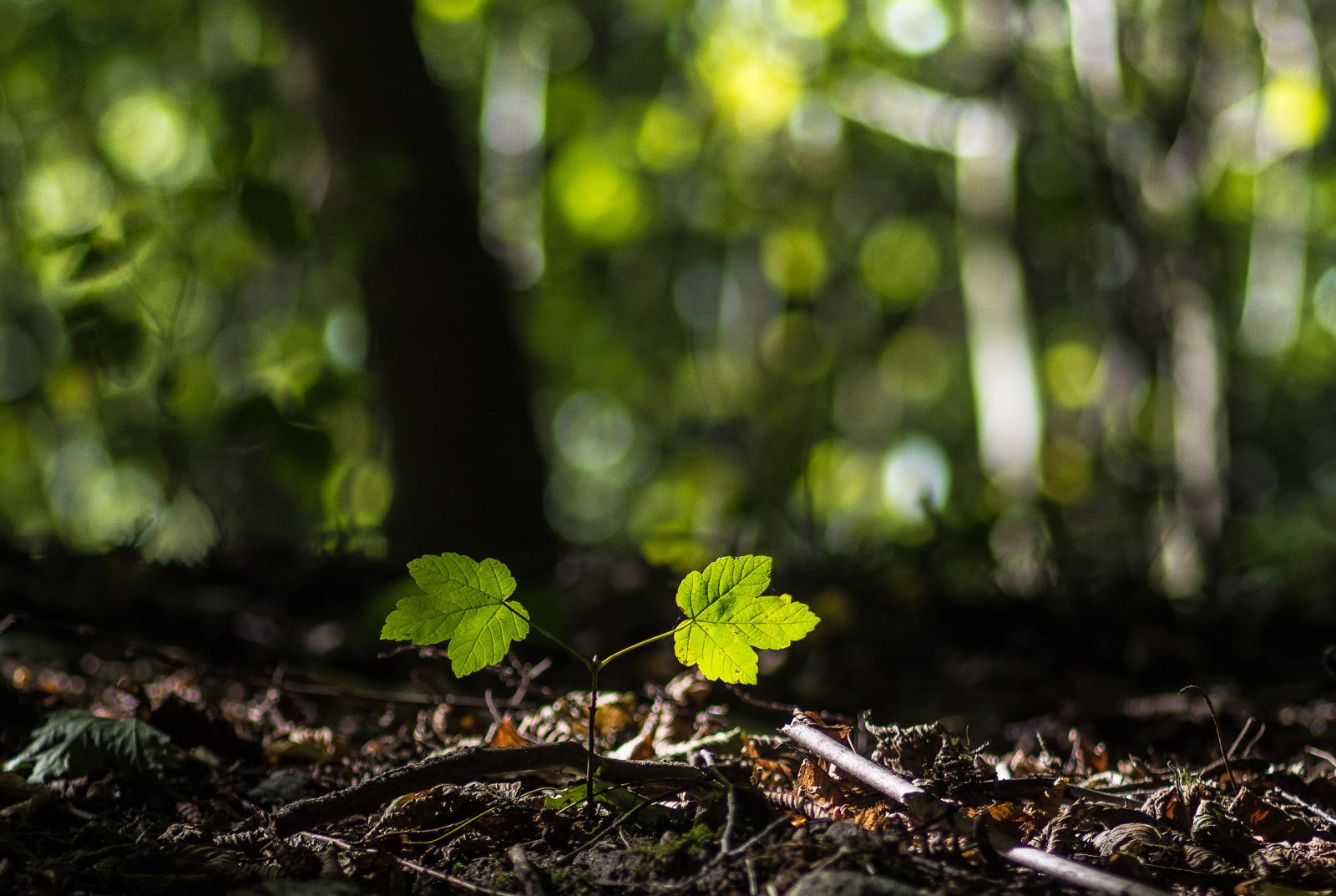 Junger Baum (erst zwei Blätter) im Gegenlicht vor leuchtend grünen Unschärfekringeln