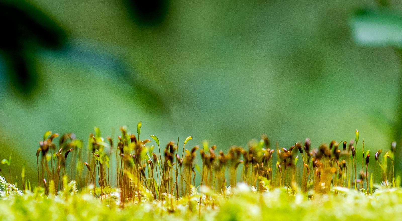 Gräser, die aus Moos herauswachsen, grün vor grünem Hintergrund