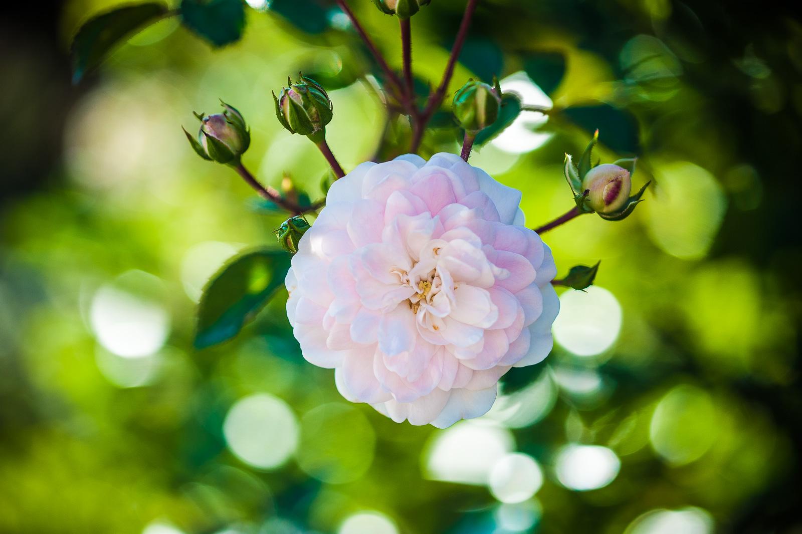 einzelne gefüllte blassrosa Rose vor Grün