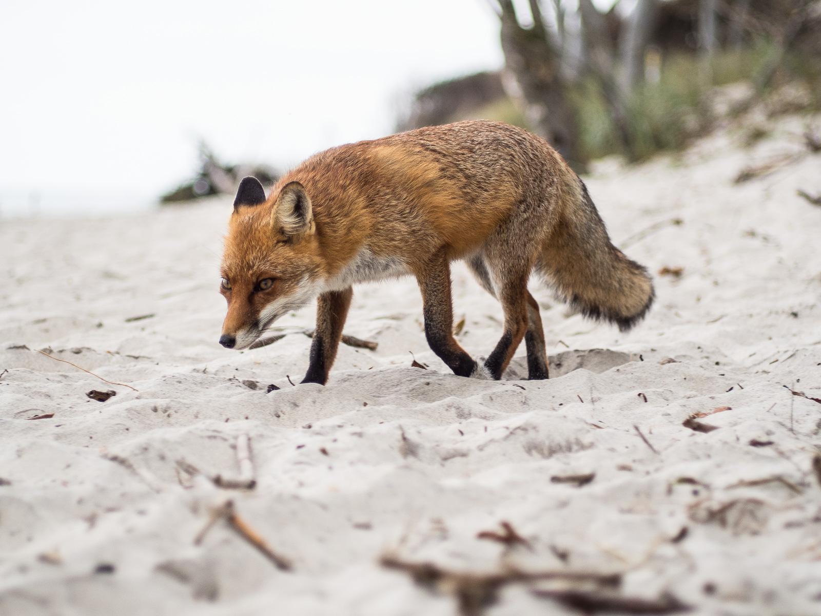 Fuchs am Darßer Weststrand, halbfrontal im Sand laufend