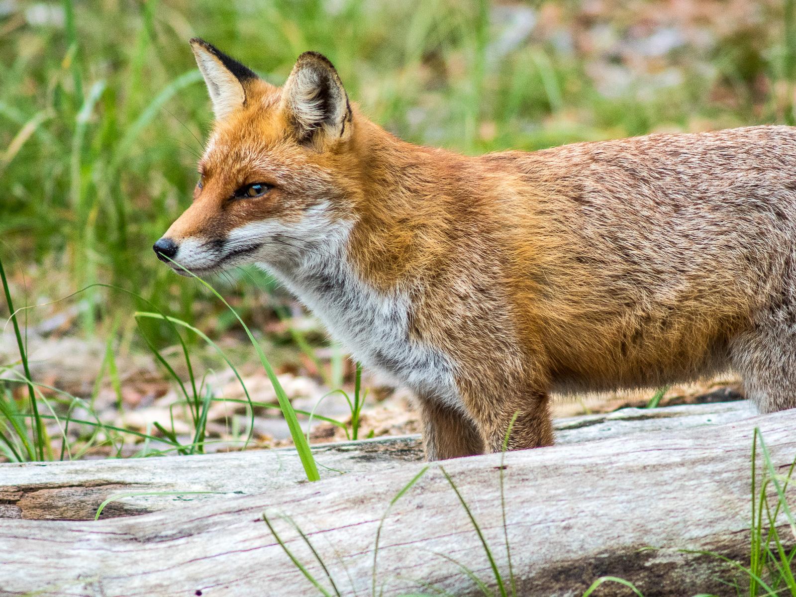 Fuchs am Darßer Weststrand, wachsam im Gras stehend