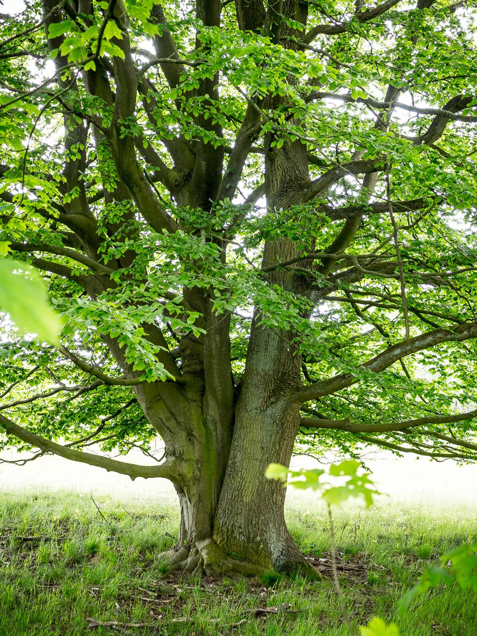 Wittmoor Hamburg, zwei unterschiedliche Bäume wie aus derselben Wurzel