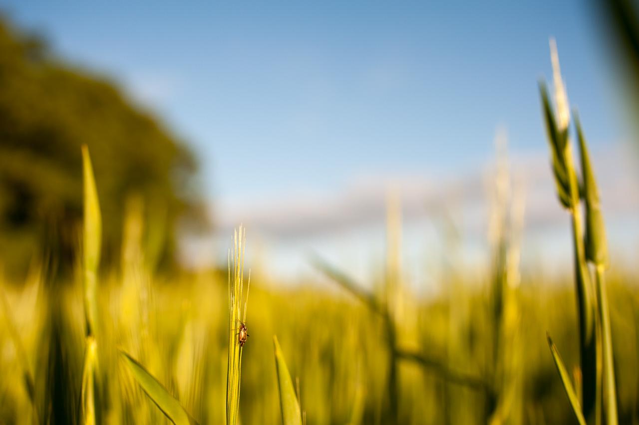 Käfer an Getreide, aus Froschperspektive fotografiert