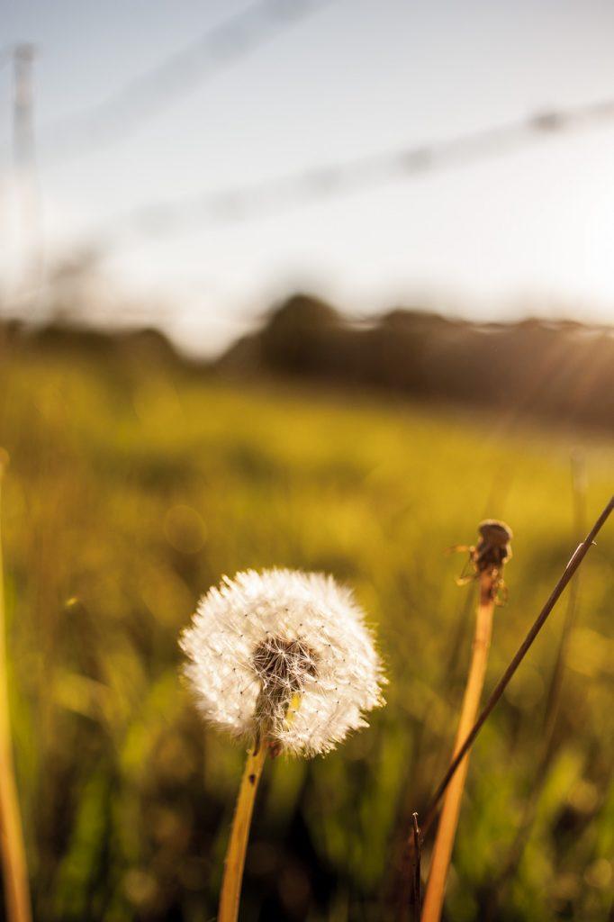 Pusteblume in der Abendsonne, bisschen kitschig