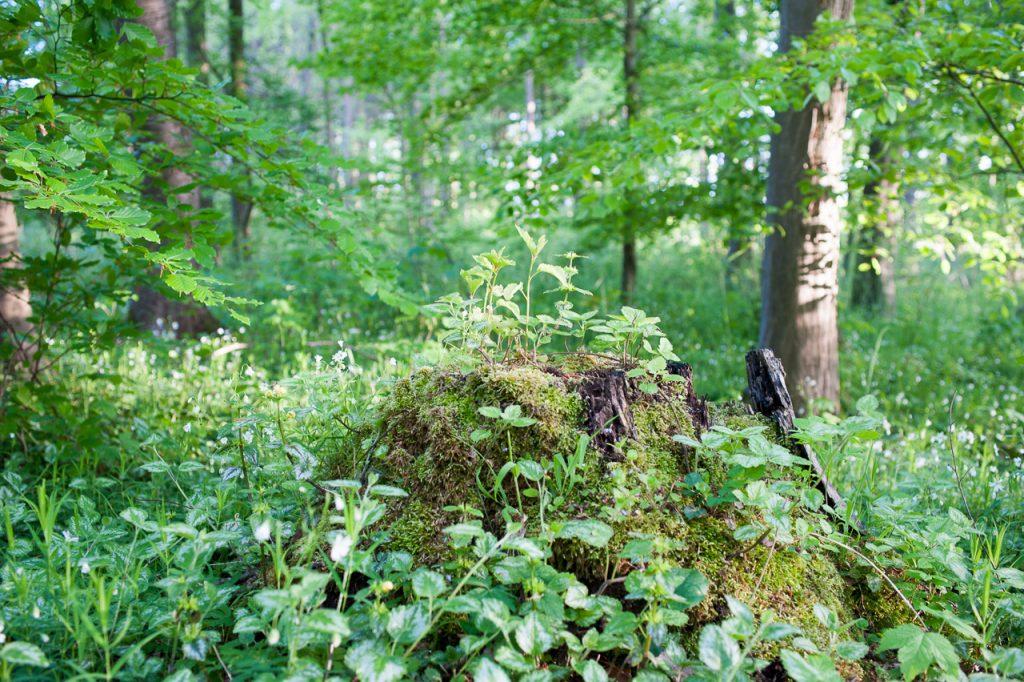 Überwucherter Baumstumpf
