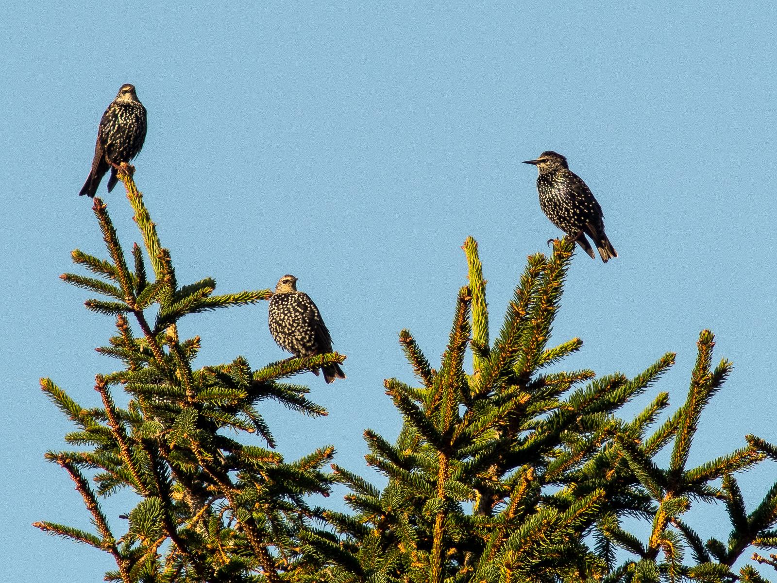 Drei Stare auf der Spitze eines Nadelbaums