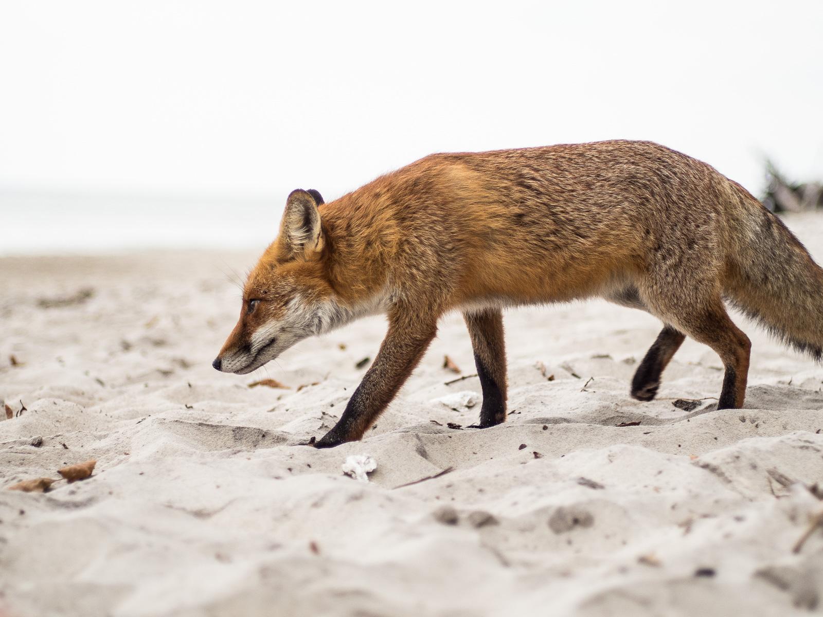 Fuchs am Darßer Weststrand, fast komplett, Profil