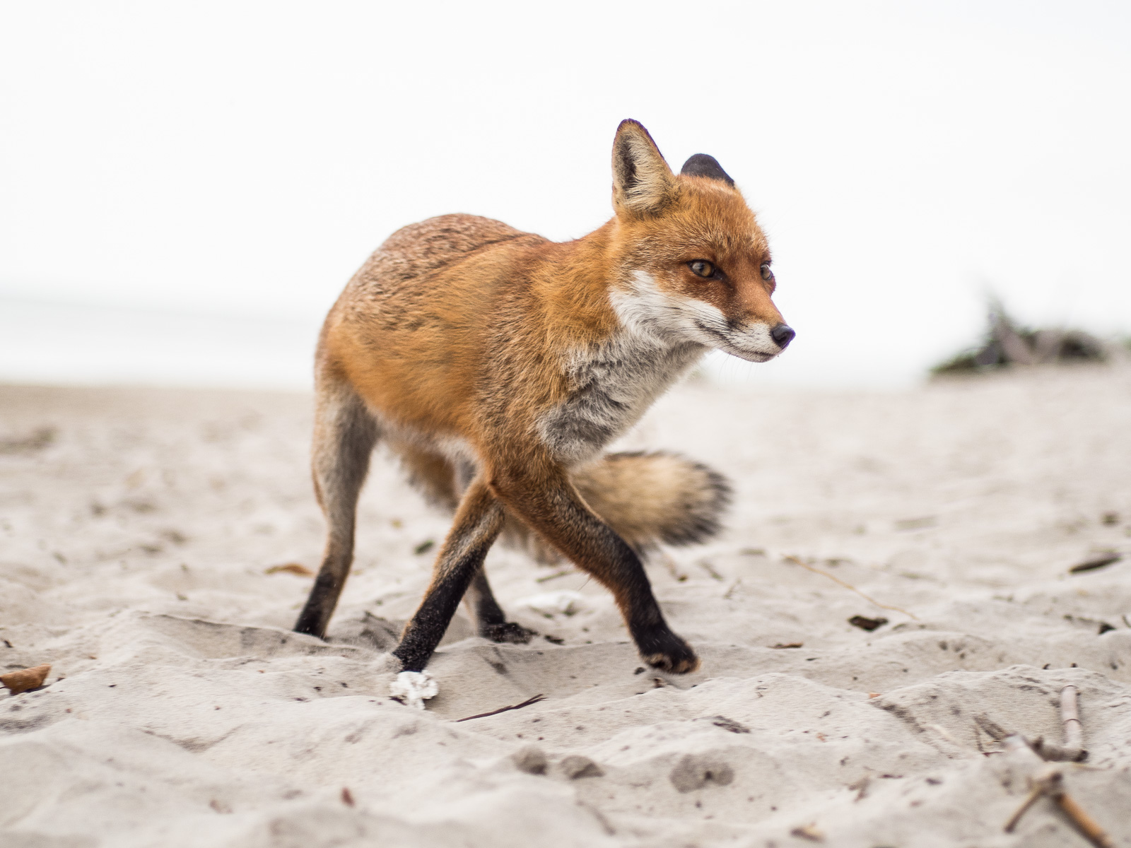 Fuchs am Darßer Weststrand, im Sand, schnürend