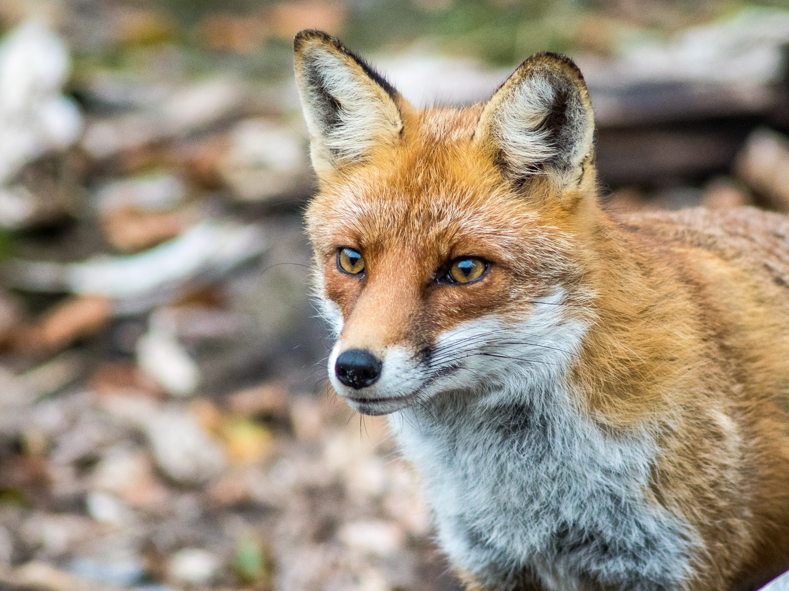 Fuchs am Darßer Weststrand, Portrait fast frontal