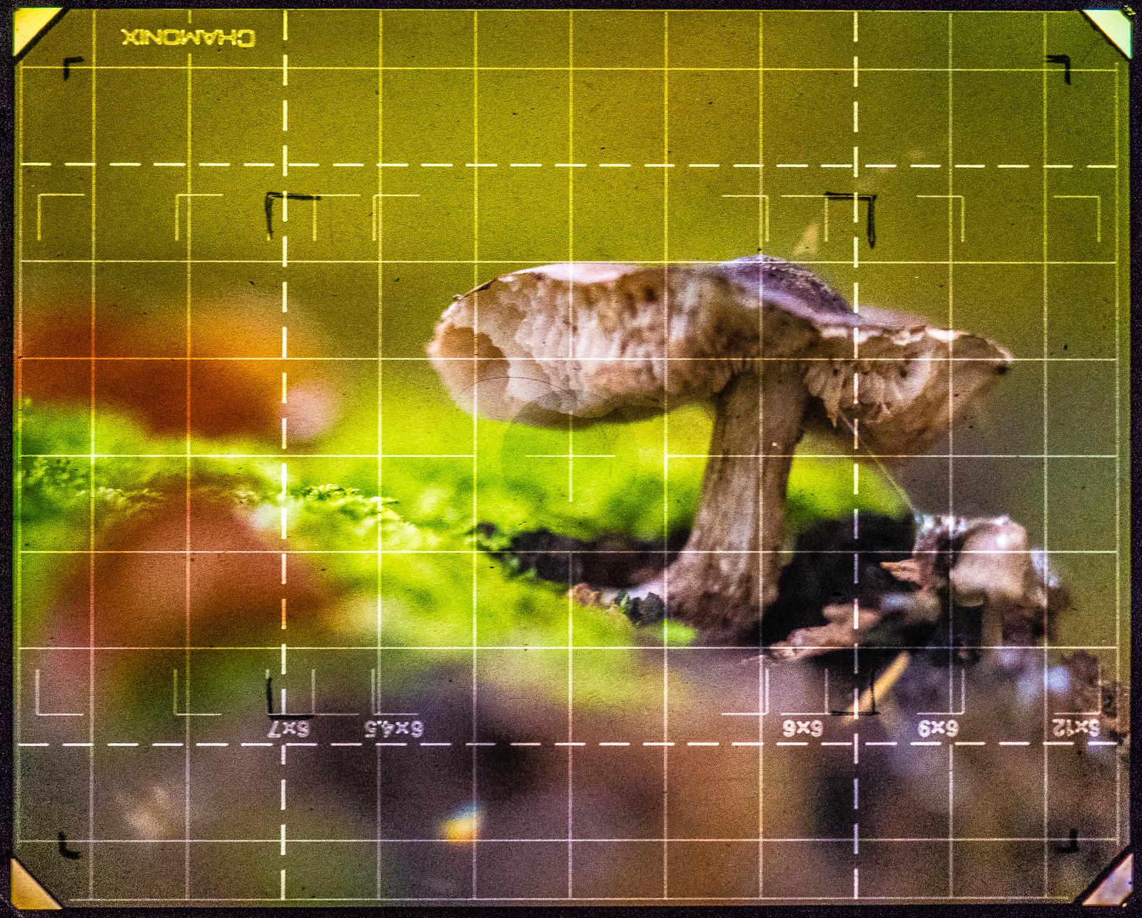 angenagter Pilz auf Baumstumpf, von der Kameramattscheibe abfotografiert
