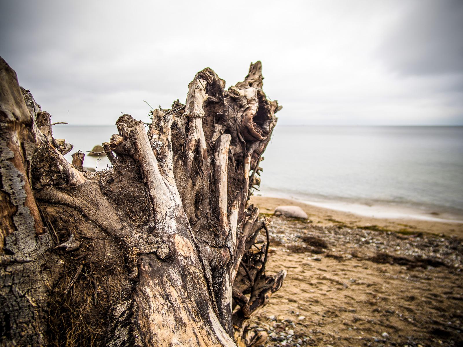 Wurzel eines an der Steilküste abgestürzten Baums