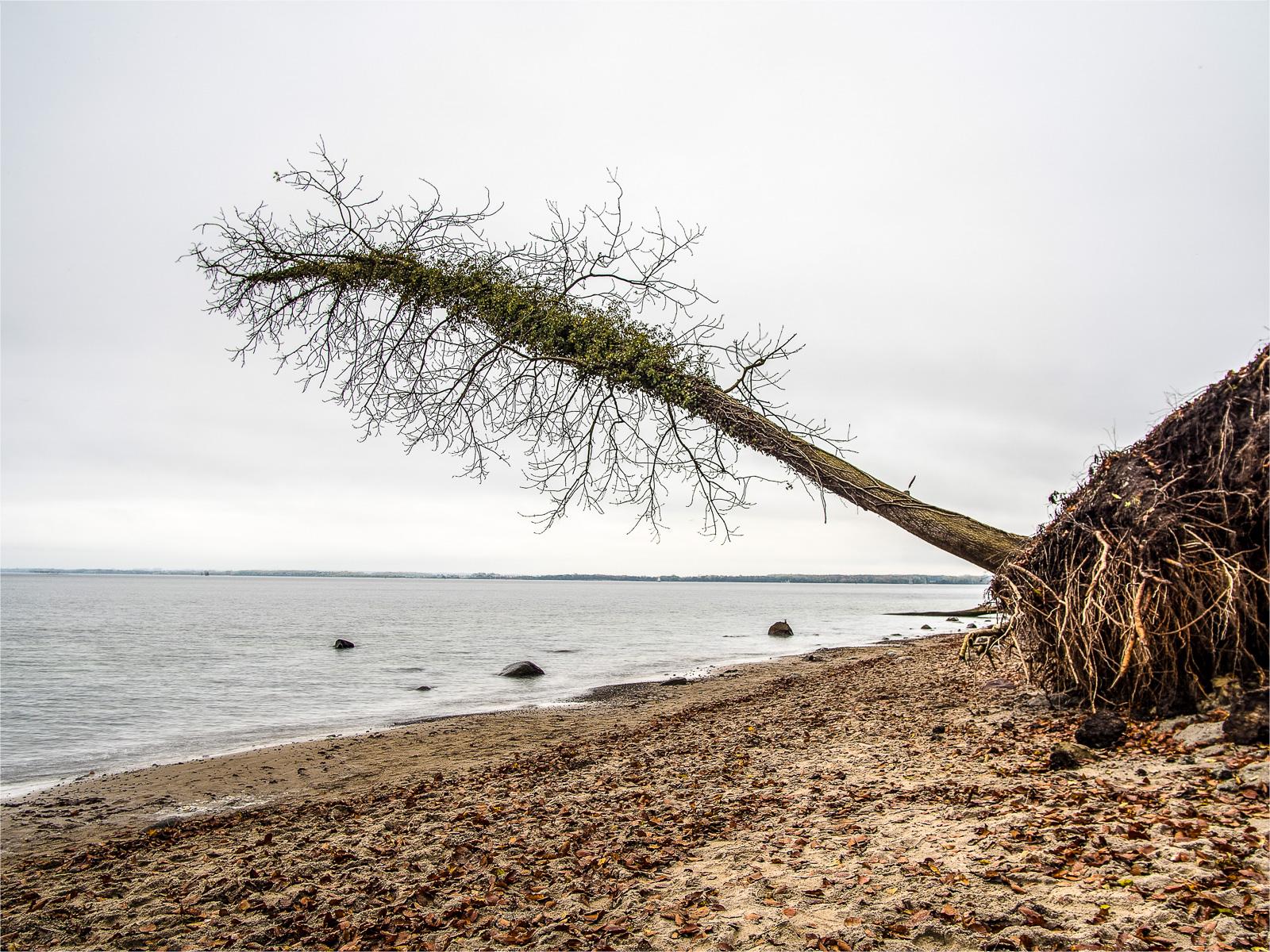 Noch nicht völlig gekippter abgerutschter Baum am Steilufer