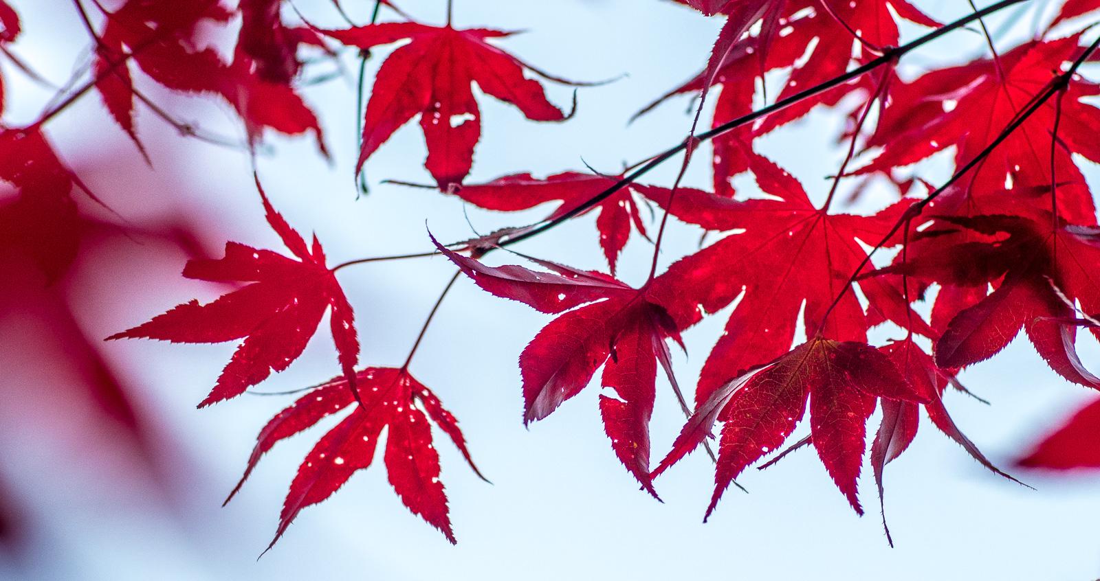 Rote Ahornblätter dominant vor blauem Himmel. Eine Farbkombination, die man am 4. November 2020 nicht gern gesehen hat.