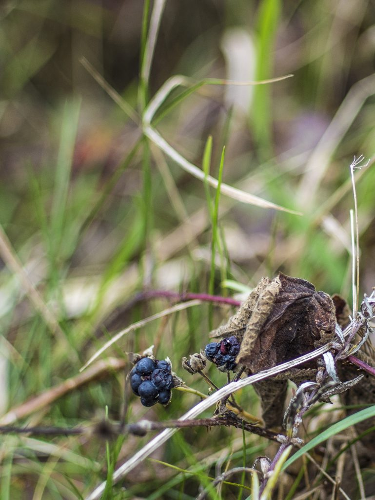 Vertrocknete Brombeere im Gras