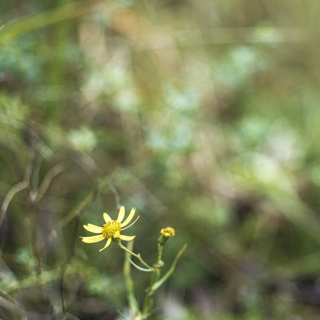 Kleine gelbe Blume mit unruhigem Bokeh