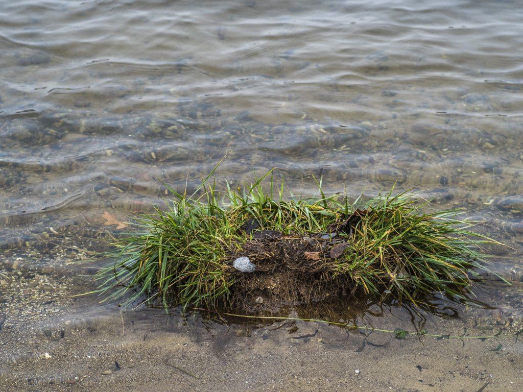 Grassoden als Insel in der Trave