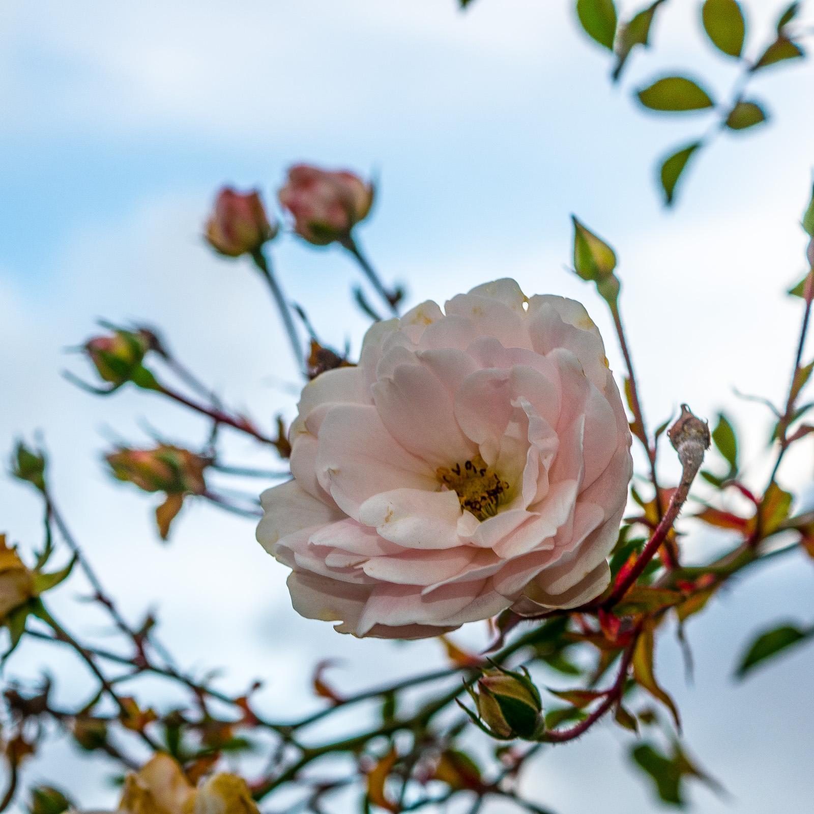 hellrosa Rosenblüte vor diversen unscharfen Knospen und leicht bewölktem Himmel, Ende November in unserem Garten
