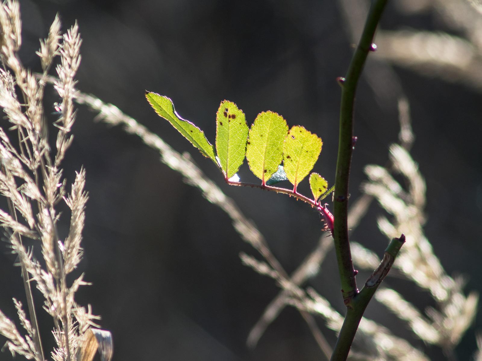 Junge Blätter im Gegenlicht