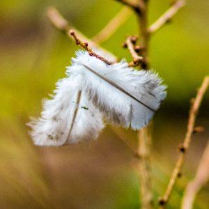 Flaumfedern hängen in einem Zweig