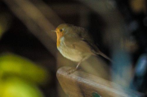 Rotkehlchen hinter reflektierender Glasscheibe
