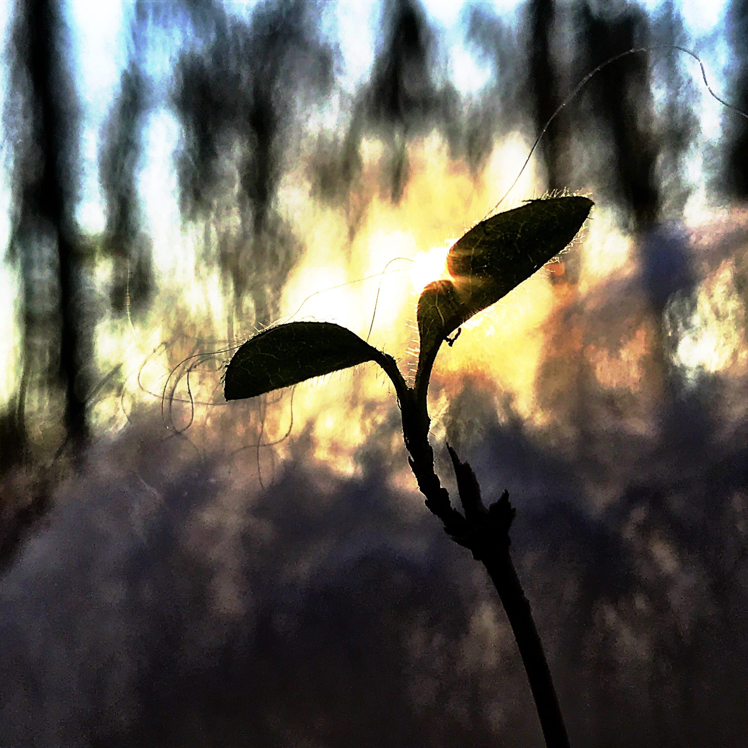 Handy-Makro: Baumschössling vor Sonnenuntergang