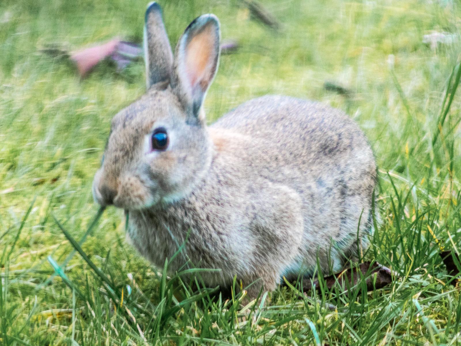 Kaninchen im Gras, Schrägansicht, auf Grashalm kauend